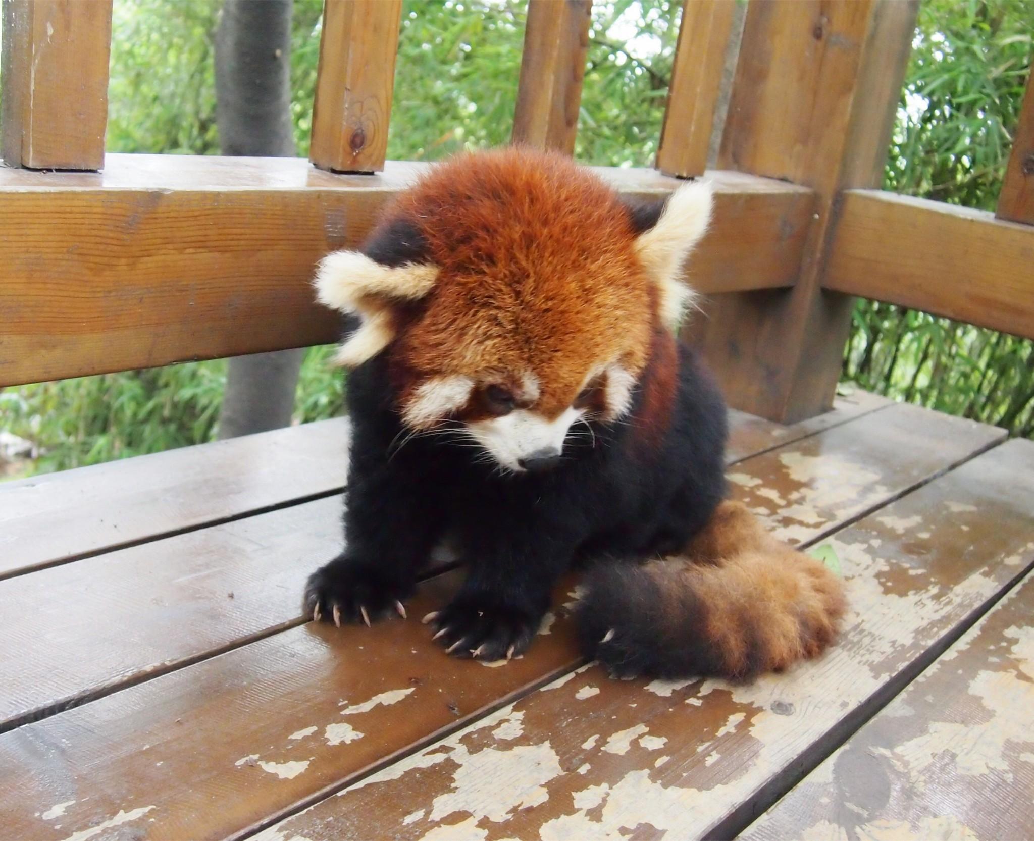 照片pk,考眼力 vs 小熊猫
