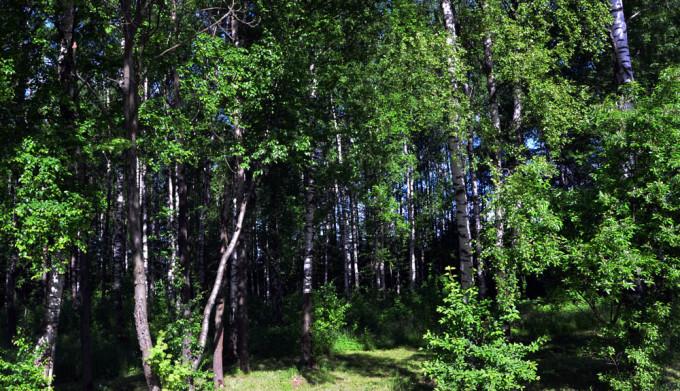 的桦树节,这一天公园,街道上的白桦树都会被装点起来,到处都会有文艺